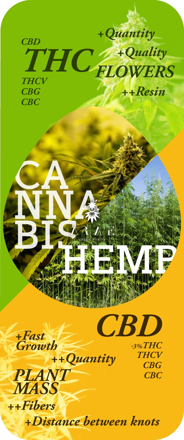 Image showing the differences between hemp and cannabis chemotype*
