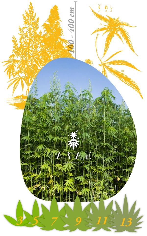 Imagen donde se ve cómo es la planta de cáñamo perfectamente*