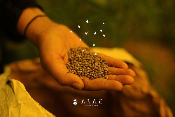 Una mano sosteniendo un puñado de semillas de cañamo